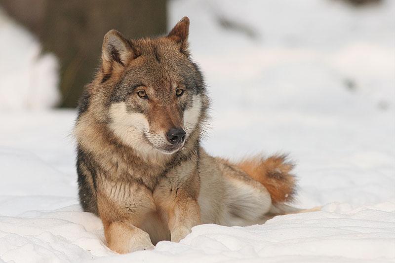 Wolf im Schnee, Foto: Bernard Landgraf, GFDL cc-by-sa-3.0-migrated