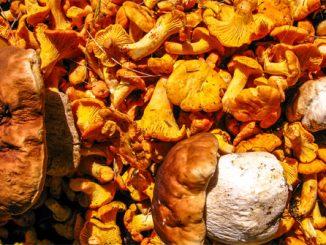 Pilze sammeln, Pfifferlinge und Steinpilze, Foto: Joadl, GFDL, CC-BY-SA-3.0-AT